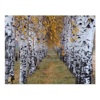 Het Bos van de Berk van Finland Briefkaart