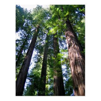 Het Briefkaart van Californische sequoia's