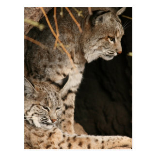 Het Briefkaart van de Foto's van Bobcat