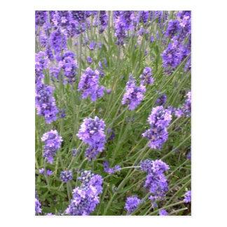 Het Briefkaart van de lavendel
