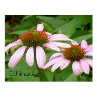 Het Briefkaart van Echinacea