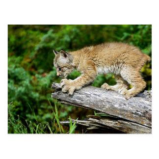 Het Canadese Katje van de Lynx Klaar op te Briefkaart