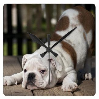 Het Engelse Puppy van de Buldog Vierkante Klok