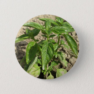 Het enige verse basilicumplant groeien op het ronde button 5,7 cm