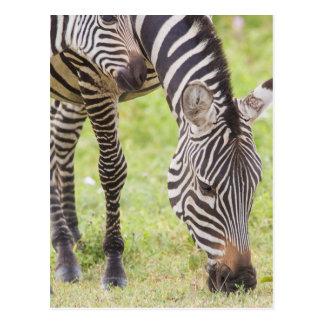 Het Eten van Zebras Briefkaart