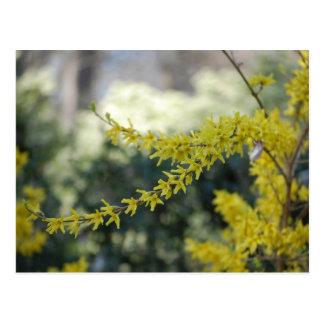 Het gele Briefkaart van de Foto van de Forsythia