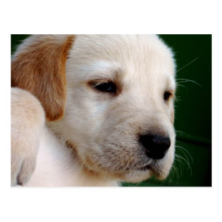 Het gele Puppy van het Laboratorium Briefkaart
