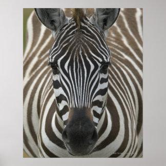 Het gemeenschappelijke Zebra (quagga Equus), sluit Poster