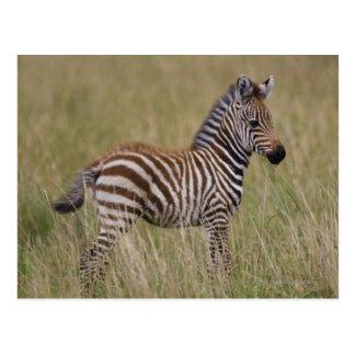 Het Gemeenschappelijke Zebra van het baby, Briefkaart