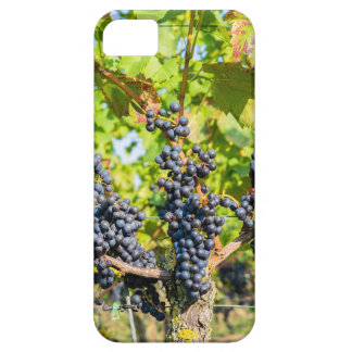 Het hangen van blauwe druivenbossen in wijngaard barely there iPhone 5 hoesje