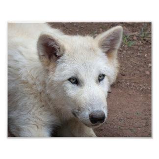Het Jong van de wolf Fotografische Afdruk
