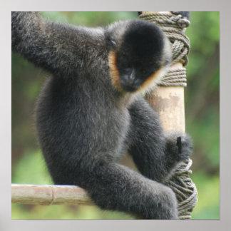 Het jonge Witte Capuchin Cheeked Poster van de Aap