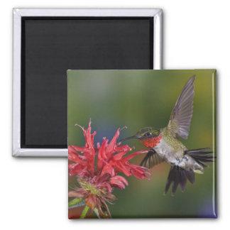 Het mannetje robijnrood-Throated Kolibrie die voed Magneet