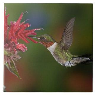 Het mannetje robijnrood-Throated Kolibrie die voed Tegeltje