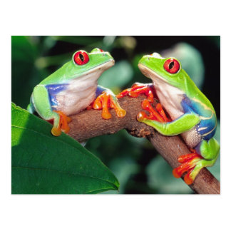 Het Paar van Red Eye Treefrog, callidryas Briefkaart