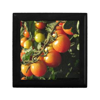 Het plant dat van de tomaat in de tuin groeien. decoratiedoosje