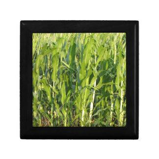 Het plant van de zoete maïs groeit in de zomer decoratiedoosje