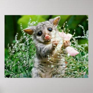 Het Plukken van het baby het Opossum Gevangen Poster