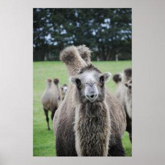 Het Poster van de kameel