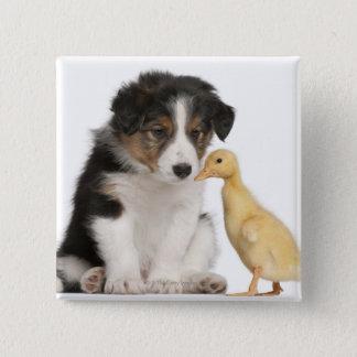 Het puppy van border collie (6 weken oud) met vierkante button 5,1 cm
