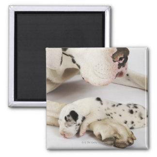Het puppyslaap van Great dane van de harlekijn op  Magneet