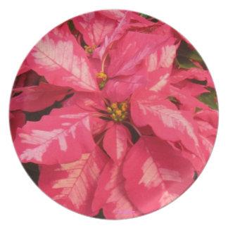 Het Rode Bord van poinsettia - roze
