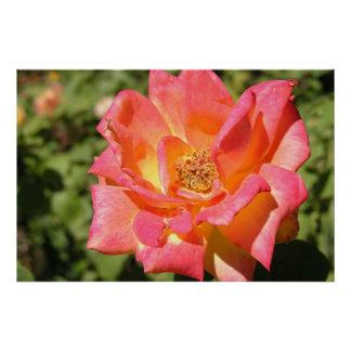 Het roze/Geel nam Sacramento PA070516 toe Poster