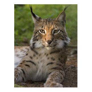 het schitterende lynx rusten briefkaart
