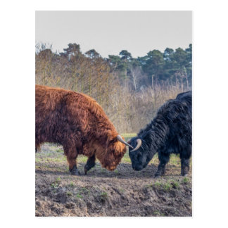 Het vechten de zwarte en bruine stier van de briefkaart