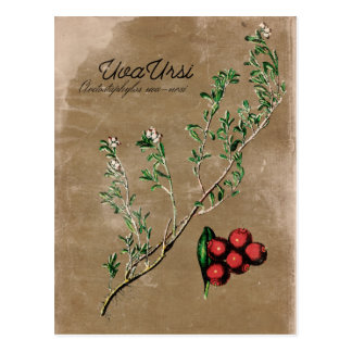 Het vintage Briefkaart van het Plant van Uva Ursi