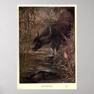 Het vintage Schilderen van de Waterbuffel (1909) Poster