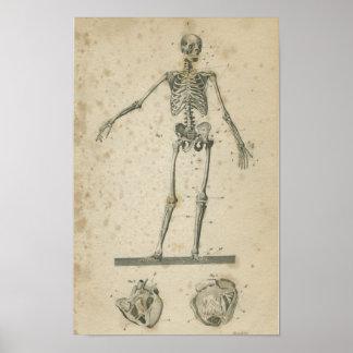 Het vintage Skelet van de Druk van de Anatomie Poster