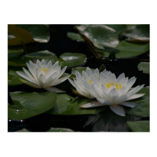 Het witte Briefkaart van Lotus Waterlilies