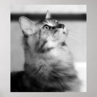 Het zwart-witte Katje van de Wasbeer van Maine van Poster