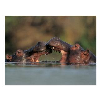 Hippos die (Nijlpaard Amphibius) worstelen Briefkaart
