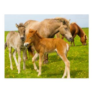 IJsland. Dyrholaey. Ijslandse paardveulennen Briefkaart