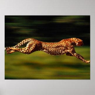 Jachtluipaard die Zijn Prooi jagen Poster