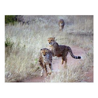 Jachtluipaarden in Namibië Briefkaart
