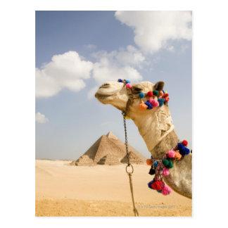 Kameel met Piramides Giza, Egypte Briefkaart