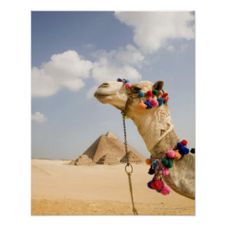 Kameel met Piramides Giza, Egypte Poster