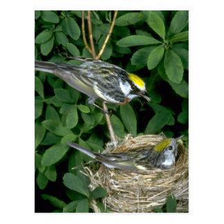 Kastanje-opgeruimde Grasmussen op nest Briefkaart