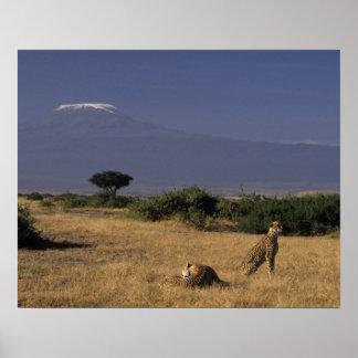 Kenia: Amboseli, twee jachtluipaarden ('Acinonyx Poster