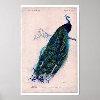 Klassieke Zoölogische Ets - Pauw Poster
