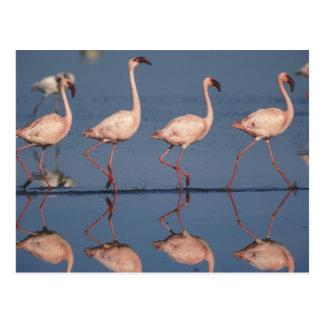 Kleinere Flamingo, (minderjarige Phoenicopterus), Briefkaart