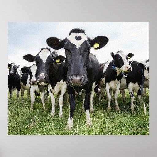 Koeien die zich in een rij bevinden die camera bek afdruk