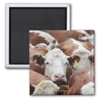 Koeien in Corral Magneet