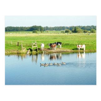 Koeien in het Briefkaart van de Foto van het