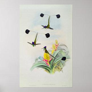 Kolibrie, door Walter en Cohn wordt gegraveerd die Poster