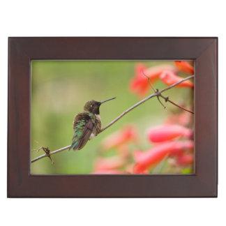 Kolibrie zwart-Chinned Herinneringen Doosje