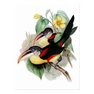 Krul-kuif Aracari Briefkaart